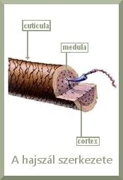 hajszál szerkezete hajgyógyászat